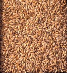 Barley Kazakhstan