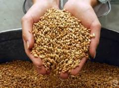 Barley from the producer, is possible expor