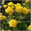 Роза для ландшафтного озеленения - Миниатюрная