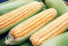Corn in an ear frozen