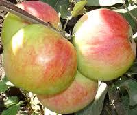 To buy saplings of apple-trees of grade of