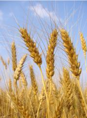 Зерновые культуры Казахстан