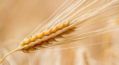 Зерновые культуры Северный Казахстан