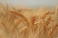 Пшеница твердая 5 класс