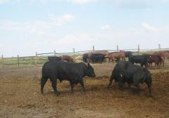 I will sell breeding krs (breeds Angus, a