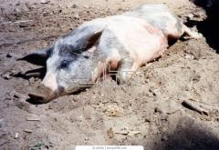 Pigs breeding