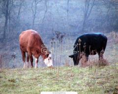 Cows breeding