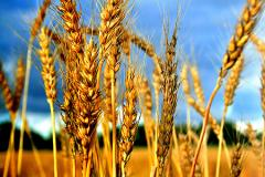 Soft wheat from the producer