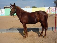 Horses, horses of kushumsky breed