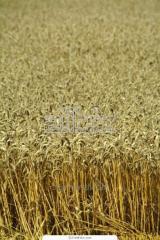 Пшеница продовольственная 4-го класса