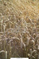 Пшеница продовольственная 5-го класса