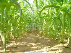 Кукуруза техническая
