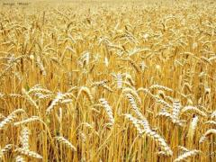 Пшеница фуражная 5 класс. Экспорт из Казахстана