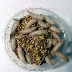 Osobopodvizhny maggots (larva of flies) for