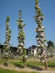 Saplings of kolodnovidny apple-trees