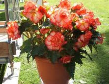 Szobavirágok
