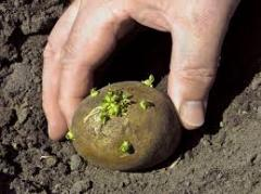 I will sell potato for landing wholesale in Almaty