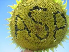 Sunflower seeds on crops