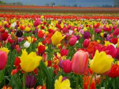 Bulbs of tulips