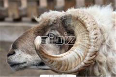 Rams Ettie Merinos's producers