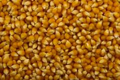 Popcorn corn grain wholesale