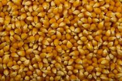 Popcorn corn grain wholesale