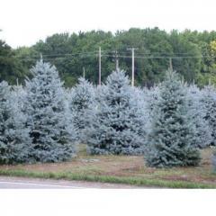 Buy a blue spruce in Almaty, Astana, Kazakhstan