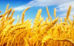 Купим пшеницу 4 Класса