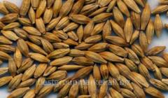 To buy seeds of barley