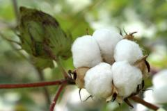 Cotton (export)
