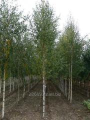 Birch of 3,0-3,2 m