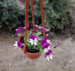 Pansies (Violet three-colored)