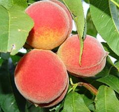 Peach Champion