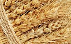 Food wheat 3.4 grade