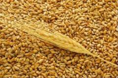 Wheat fodder. Documents. Quality. Export from