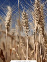 Wheat expor