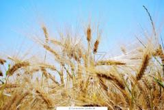 Barley 2nd class, neklasny