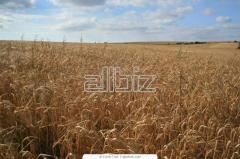 Barley for export, Kazakhstan