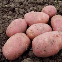 Картофель сорт Алладин
