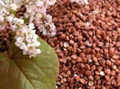 Buckwheat from the producer