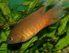 Рыба аквариумная Белонтия - Belontia signata