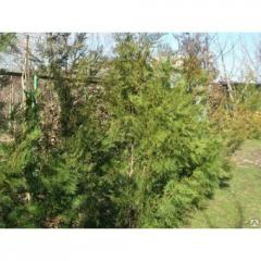 Buy a biota a thuja east in Almaty