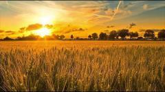Пшеница мягкая , 3 класс