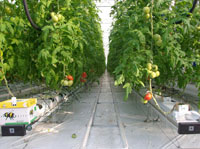 Растения тепличные, Выращенные томаты, Свежие