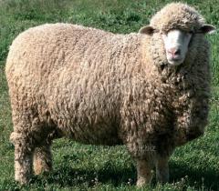 Овцы меринос
