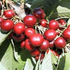 Celeste Sumpaca cherry