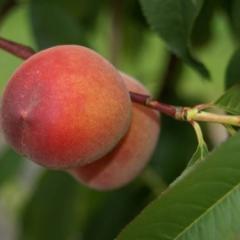 Dixired peach