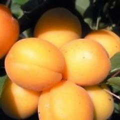Goldrich apricots