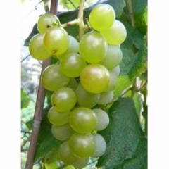 Fragola Bianca grapes