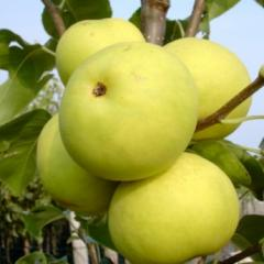 Apple-tree hybrid with Naddel Pear pear